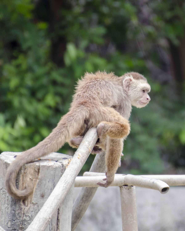 Monkey at the Parque Histórico, Guayaquil, Ecuador.