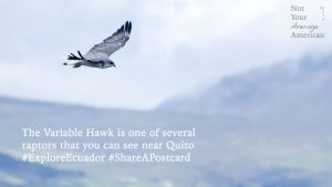 Variable Hawk Postcard