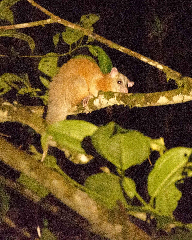White-eared Opossum, San Jorge de Milpe, Ecuador