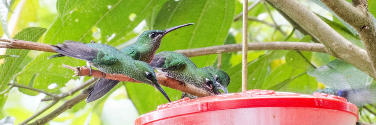 Green-crowned Brilliants at the feeder at San Jorge de Milpe