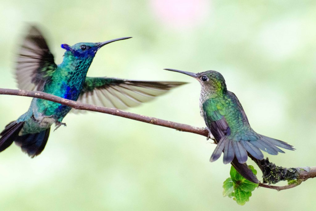 Hummingbirds, Napo Province