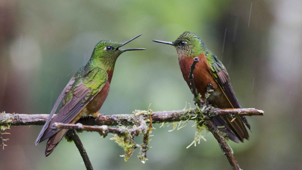 Where to See Hummingbirds in Ecuador