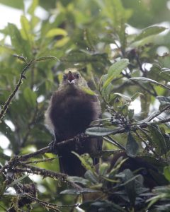 Juvenile Russet-Backed Oropendola