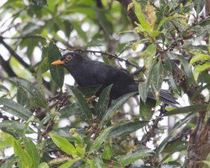Glossy Black Thrush