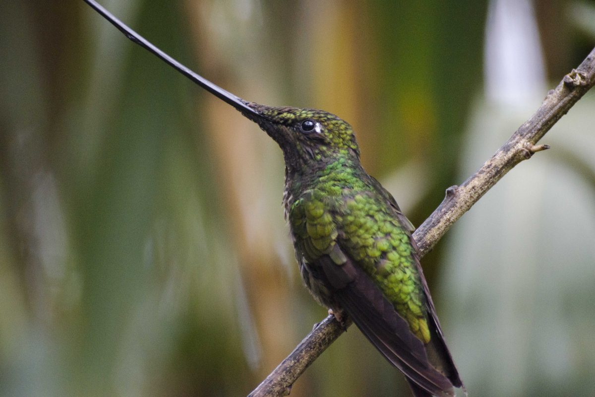 The Sword-billed Hummingbird (Ensifera ensifera) is a show-stopper at the hummingbird garden in the Yanacocha Reserve | ©Angela Drake