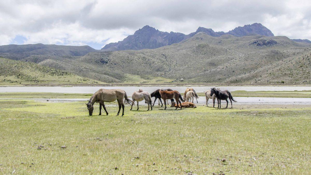 The Wild Horses of Cotopaxi are often seen near Laguna Limpiopungo. | ©Angela Drake