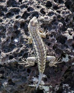 Puerto Chino, Lava Lizard