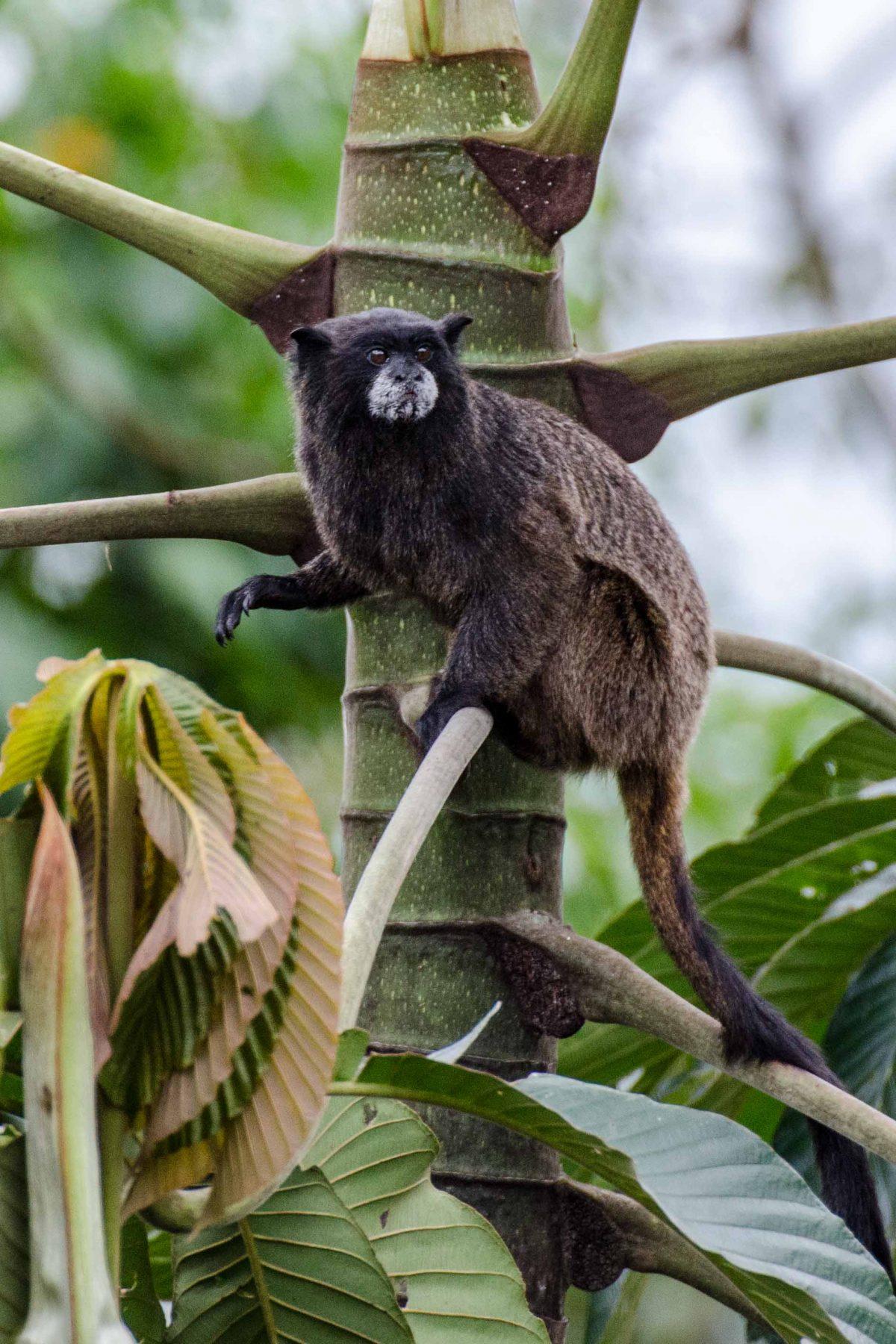 Tamarin Monkey, Napo Province, Ecuador | ©Angela Drake /Ecuador Por Mis Ojos