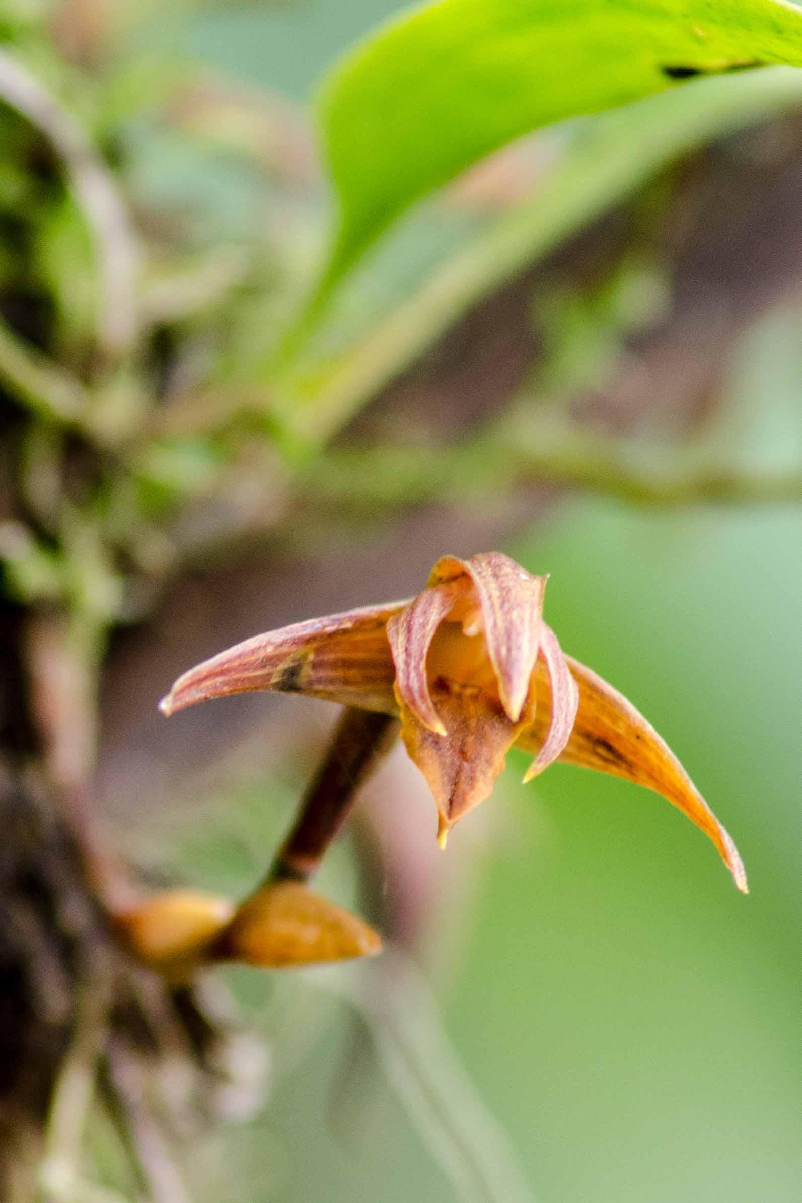 A Wild Orchid, Napo Province, Ecuador | ©Angela Drake /Ecuador Por Mis Ojos