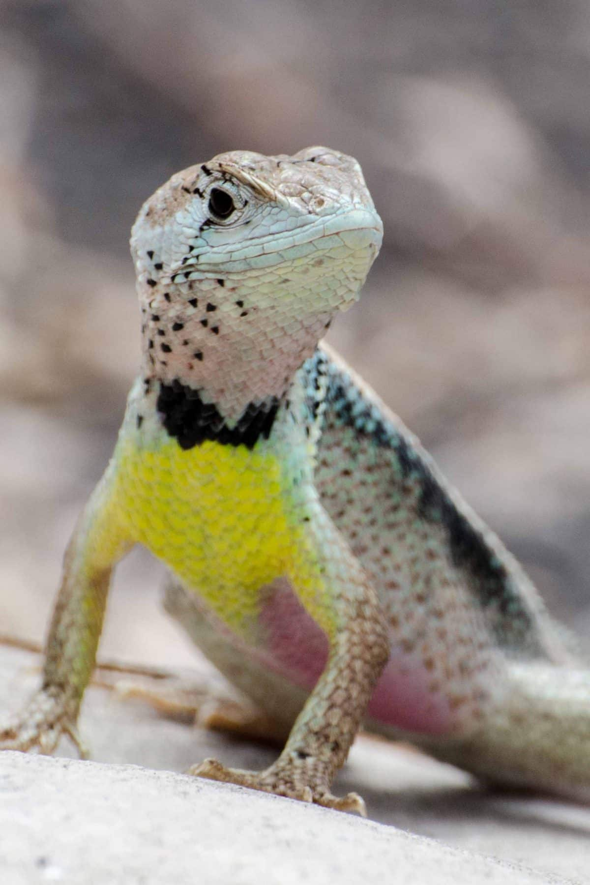 A Colorful Lizard, Bosque, Cerro Blanco, Guayaquil, Ecuador | © Angie Drake / Ecuador Por Mis Ojos