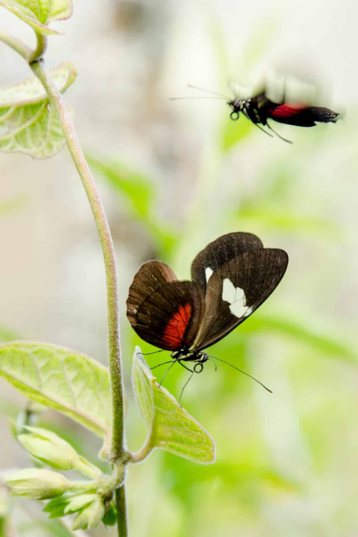 A Butterfly, Loja Province, Ecuador