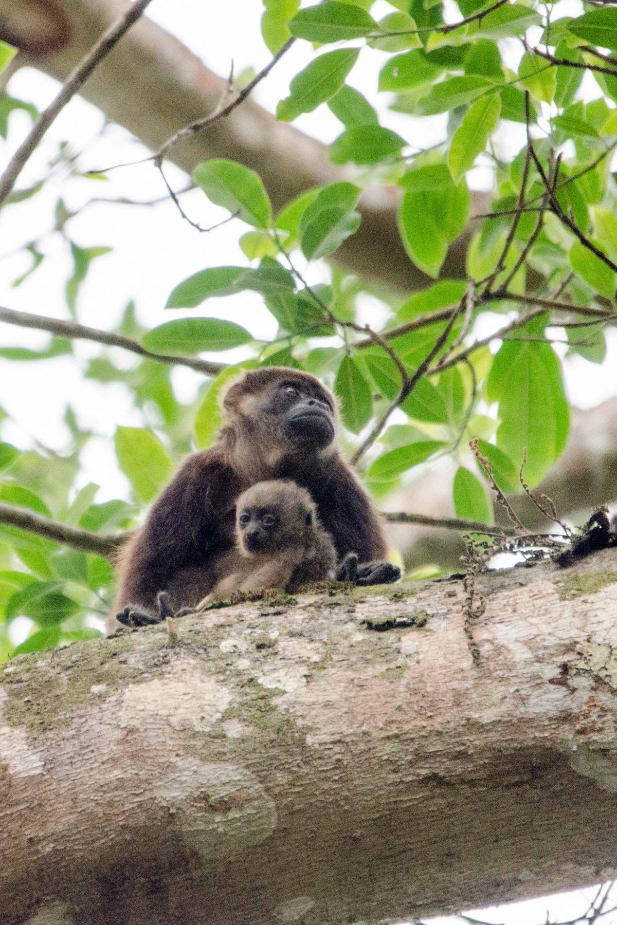 Howler Monkeys, Pacoche Reserve, Ecuador | ©Angela Drake / Not Your Average American