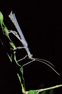 Pastaza Province, Insect w long antennae