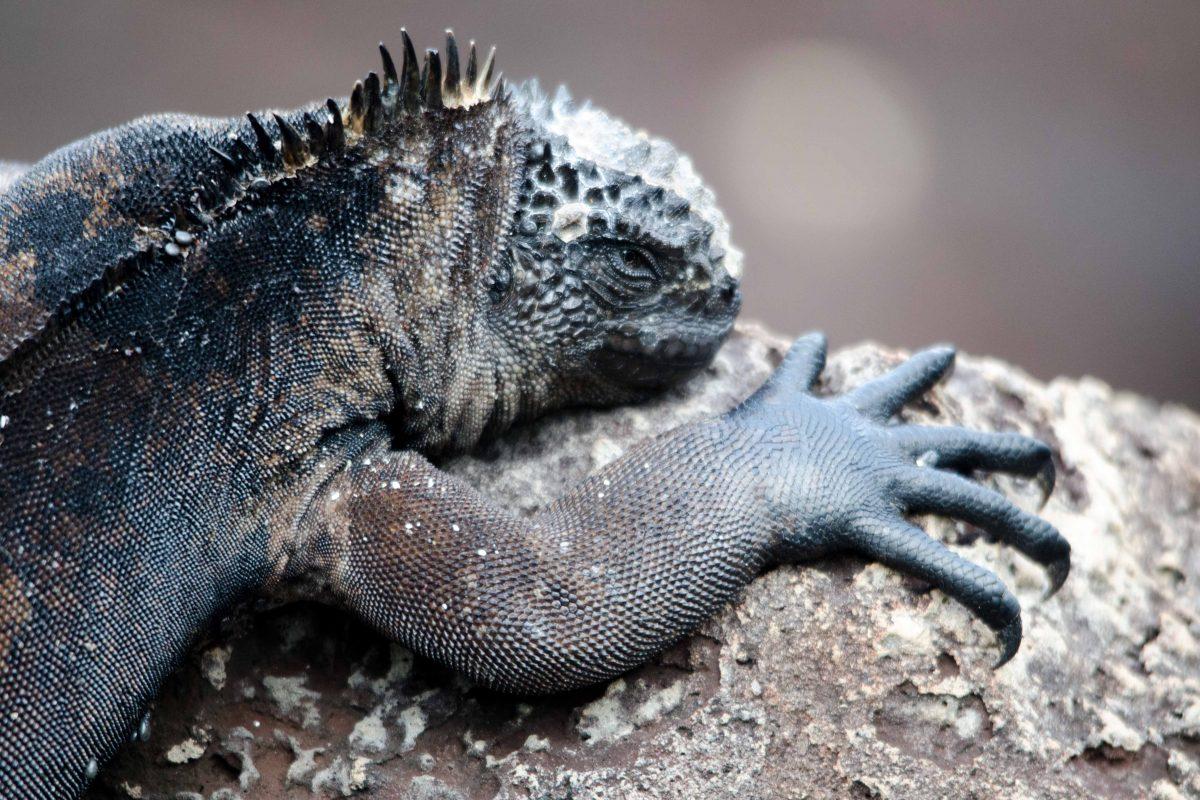 Marine Iguana, San Cristobal Island, the Galapagos, Ecuador | ©Angie Drake
