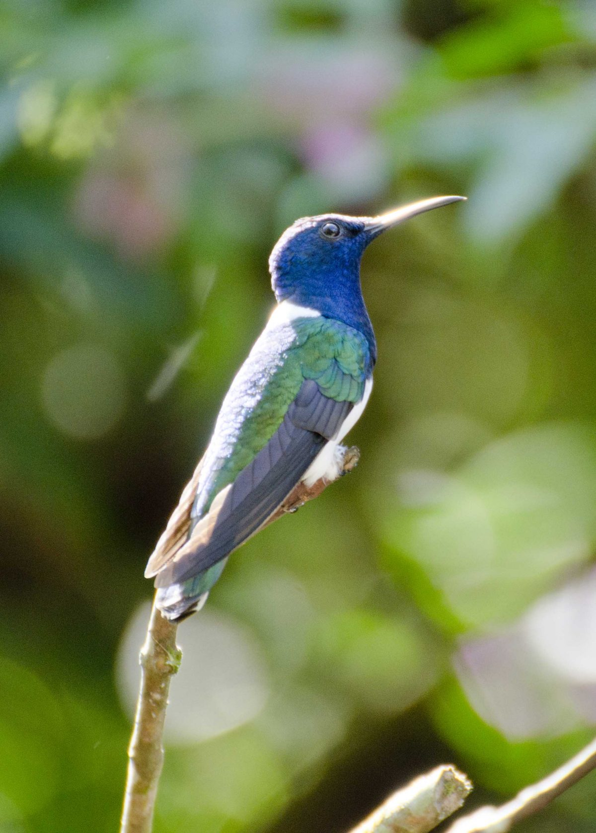 White-necked Jacobin hummingbird | ©Angela Drake