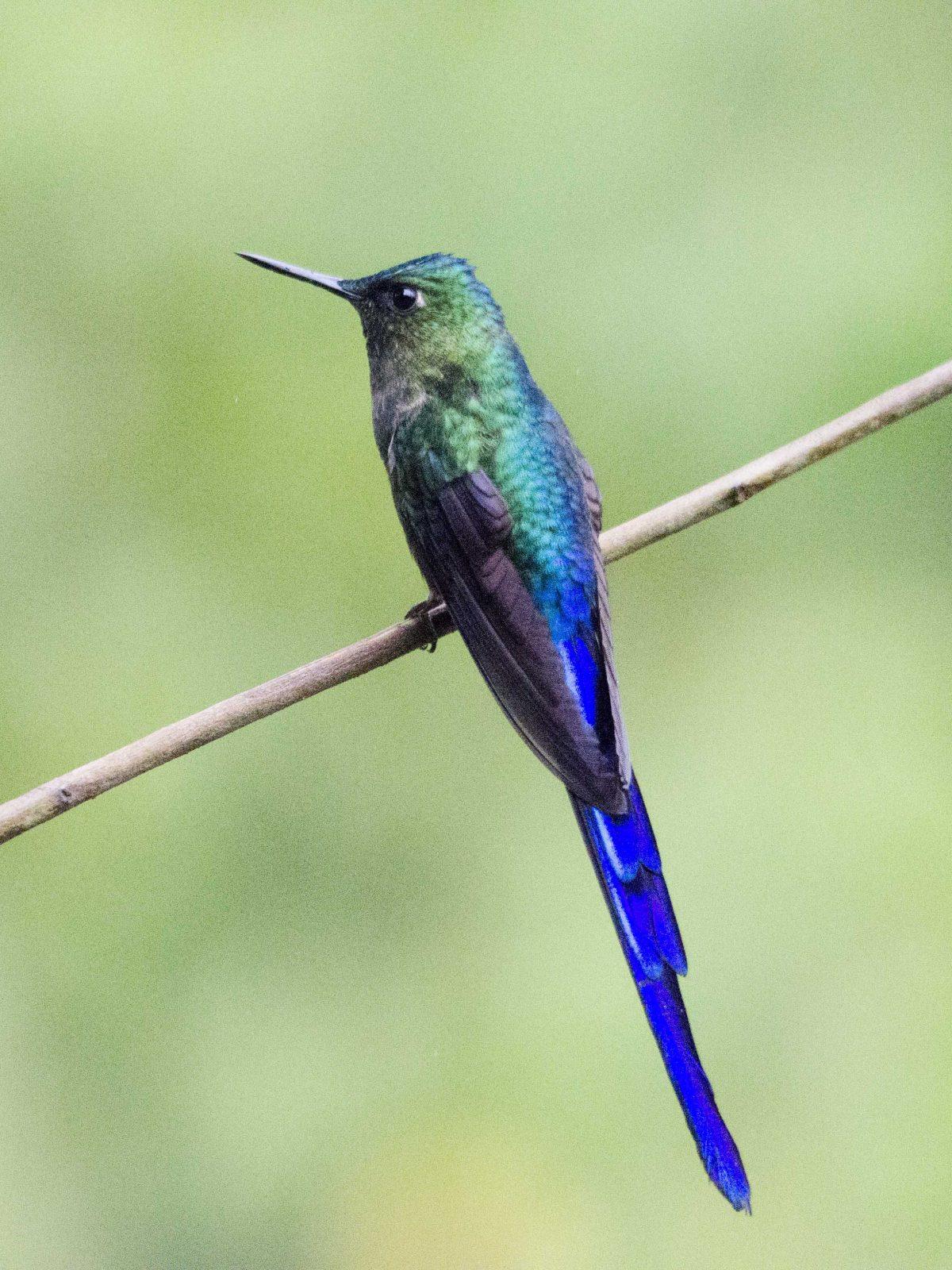 Violet-tailed Sylph hummingbird | ©Angela Drake