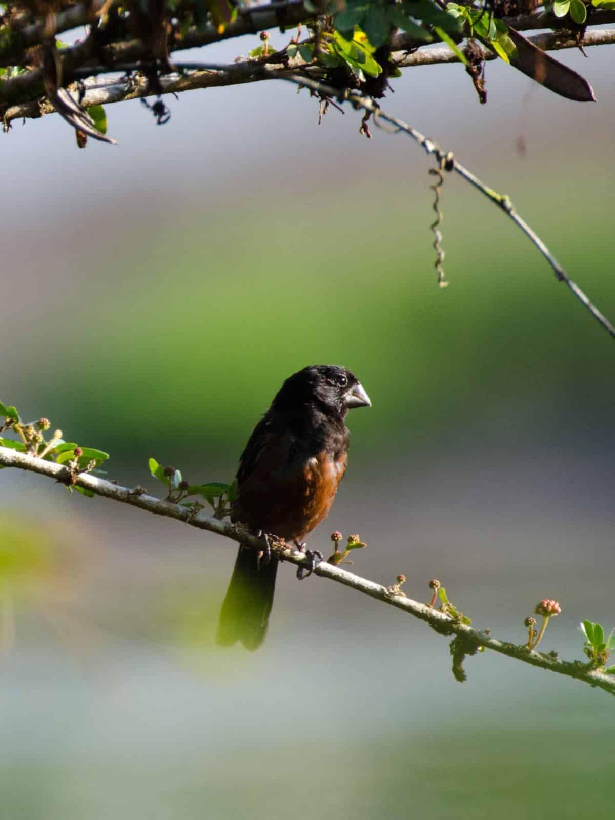 Lesser Seed-Finch, Puerto Napo, Ecuador | ©Angela Drake /Ecuador Por Mis Ojos