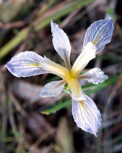 Douglas Iris - Buttermilk Bend