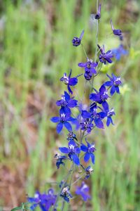 Wild Larkspur - Buttermilk Bend