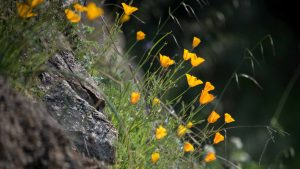 California Poppy - Buttermilk Bend