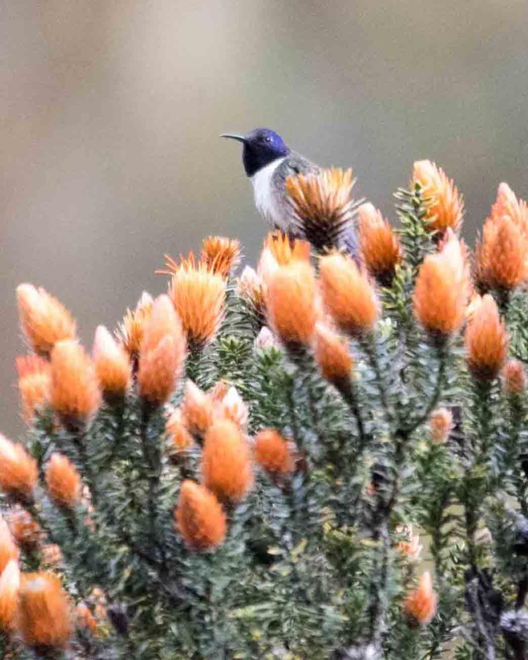 Ecuadorian Hillstar, Antisanilla Reserve | © Angela Drake