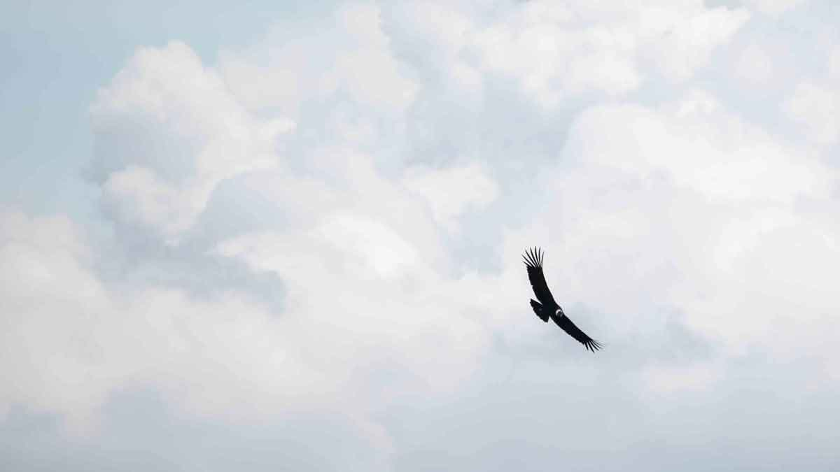 Andean Condor at the Antisanilla Reserve | ©Angela Drake