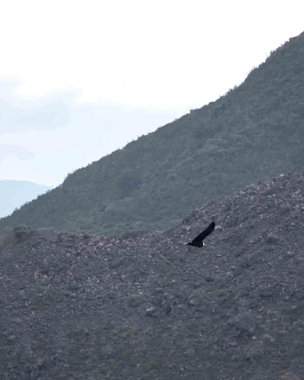 Andean Condor in Flight; Reserva Antisanilla, Secas, Ecuador
