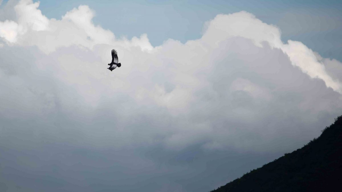 An Andean Condor riding thermals near the Reserva Antisanilla, Secas, Ecuador.