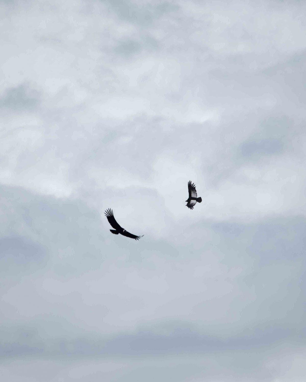 Andean Condors in Flight; Reserva Antisanilla, Secas, Ecuador