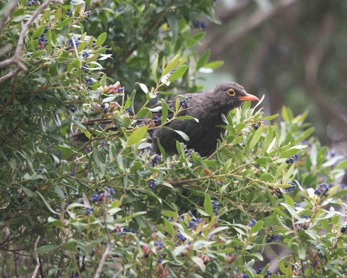 Glossy Black Thrush, Reserva Antisanilla | © Angela Drake