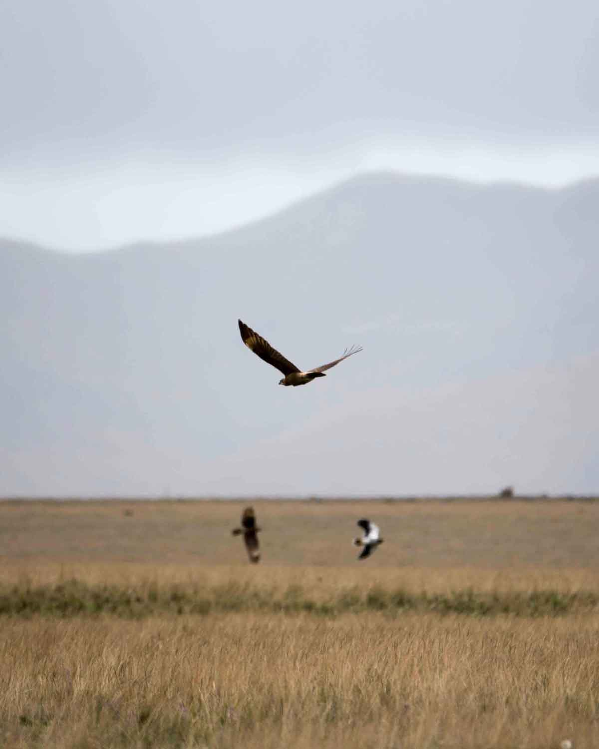 Carunculated Caracaras in Flight, Antisana Conservation Area | ©Angela Drake