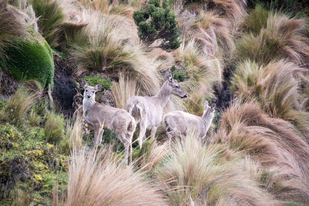 White-tailed Deer, Micacocha, Ecuador | ©Angie Drake / Not Your Average American