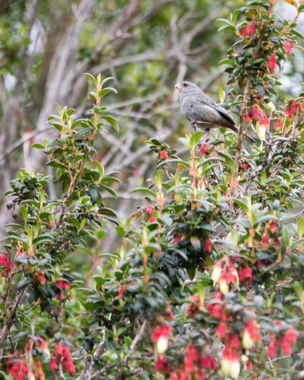 Band-tailed Seedeater, Reserva Antisanilla, Secas, Ecuador | ©Angela Drake