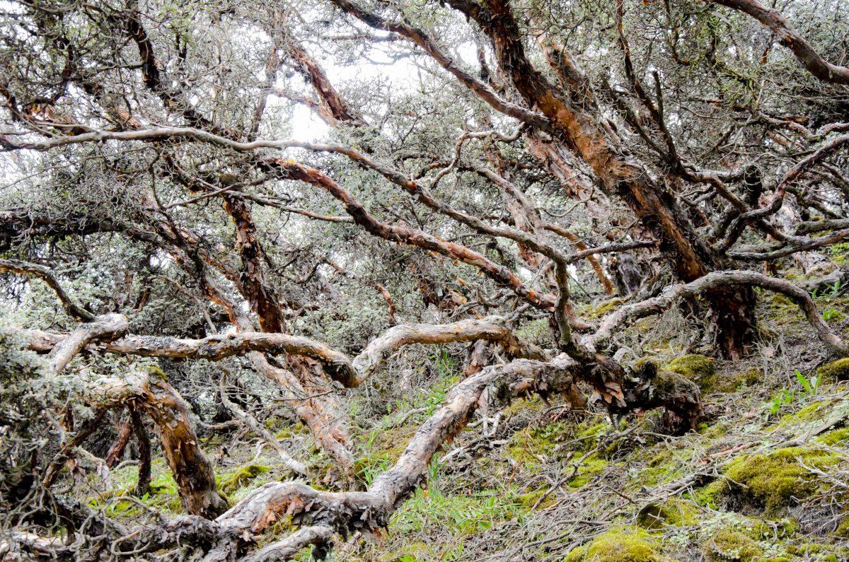 Polylepis Forest, Chimborazo Wildlife Reserve, Ecuador   ©Angela Drake / Not Your Average American