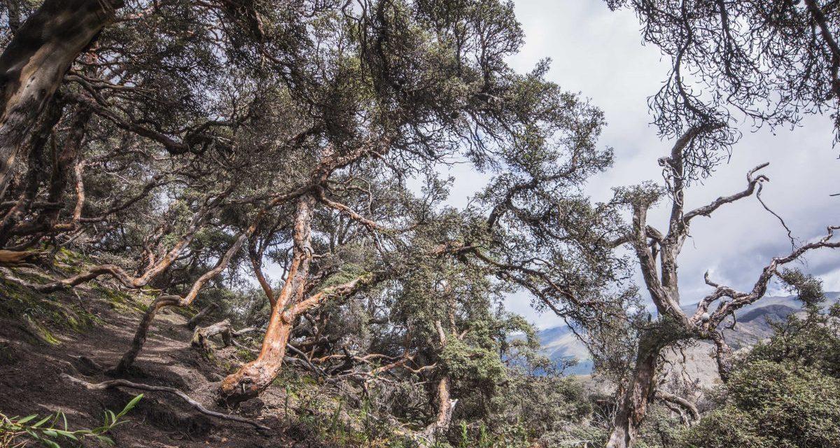 The Polylepis Trail, Chimborazo Wildlife Reserve