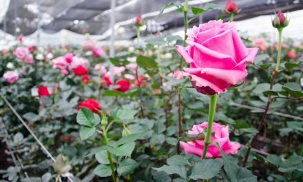 The Gift of High Altitude Ecuadorian Roses