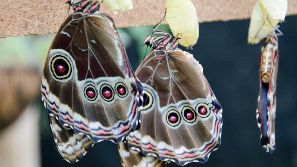 Newly emerged butterflies at the Mariposario (butterfly farm), Mindo, Ecuador | © Angela Drake
