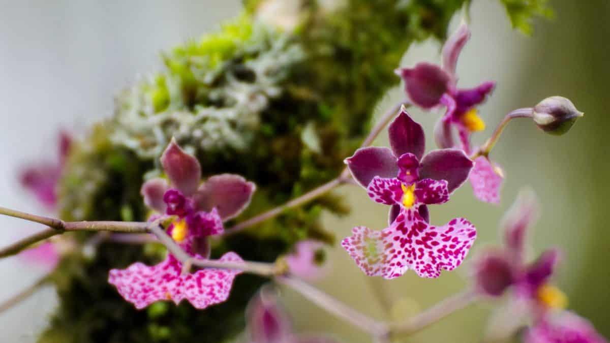 Orchids from the gardens at Panticucho, Baños de Agua Santa, Ecuador, August 2014 | ©Angela Drake
