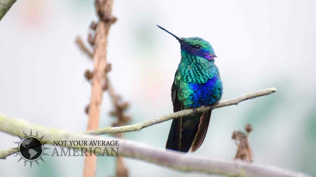 A Sparkling Violetear Hummingbird; West Slope of the Andes, Ecuador | © Angela Drake