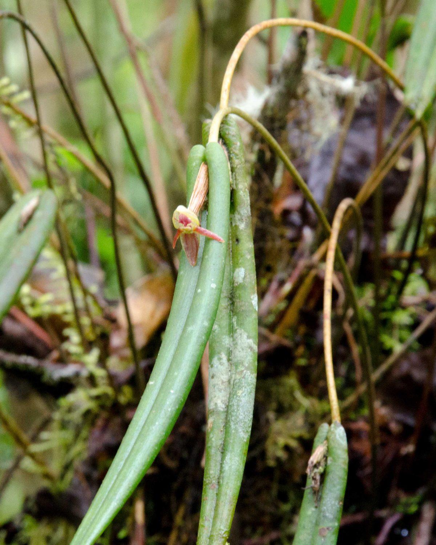 Orchids from Guango Lodge near Papallacta, Ecuador, June 2016 | ©Angela Drake
