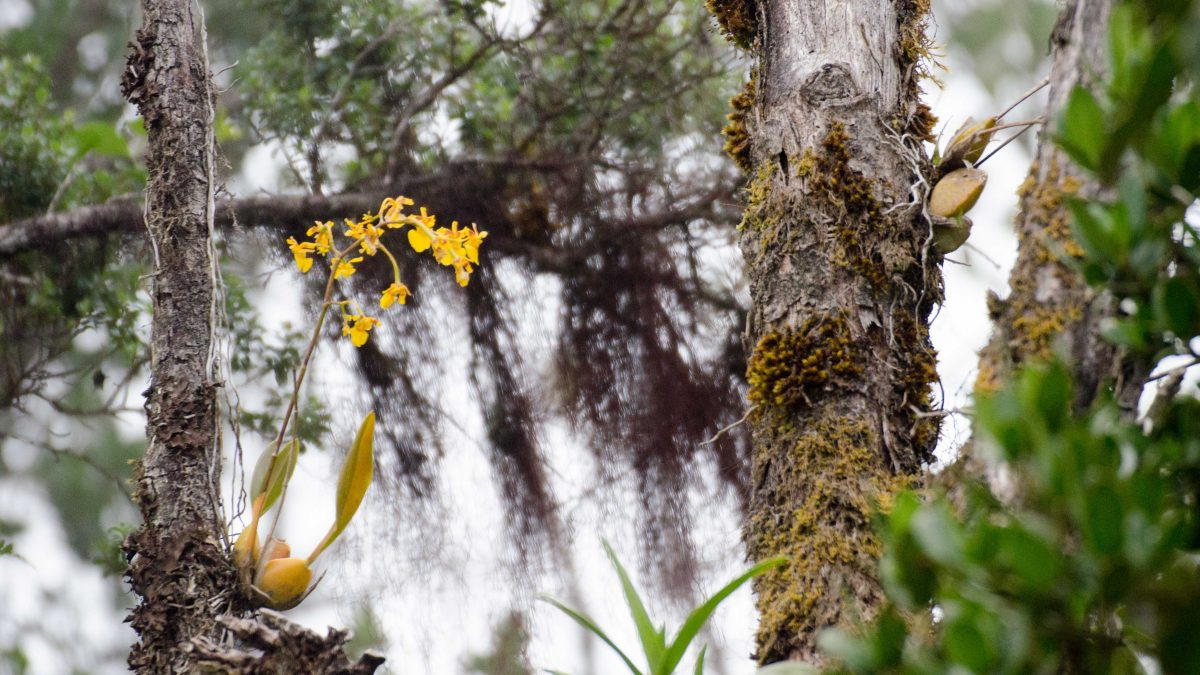 Orchids in a tree, Yanacocha Reserve, November 2014 | ©Angela Drake