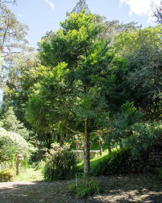 Podocarpus Tree, Botanical Garden in Loja, Ecuador | ©Angela Drake