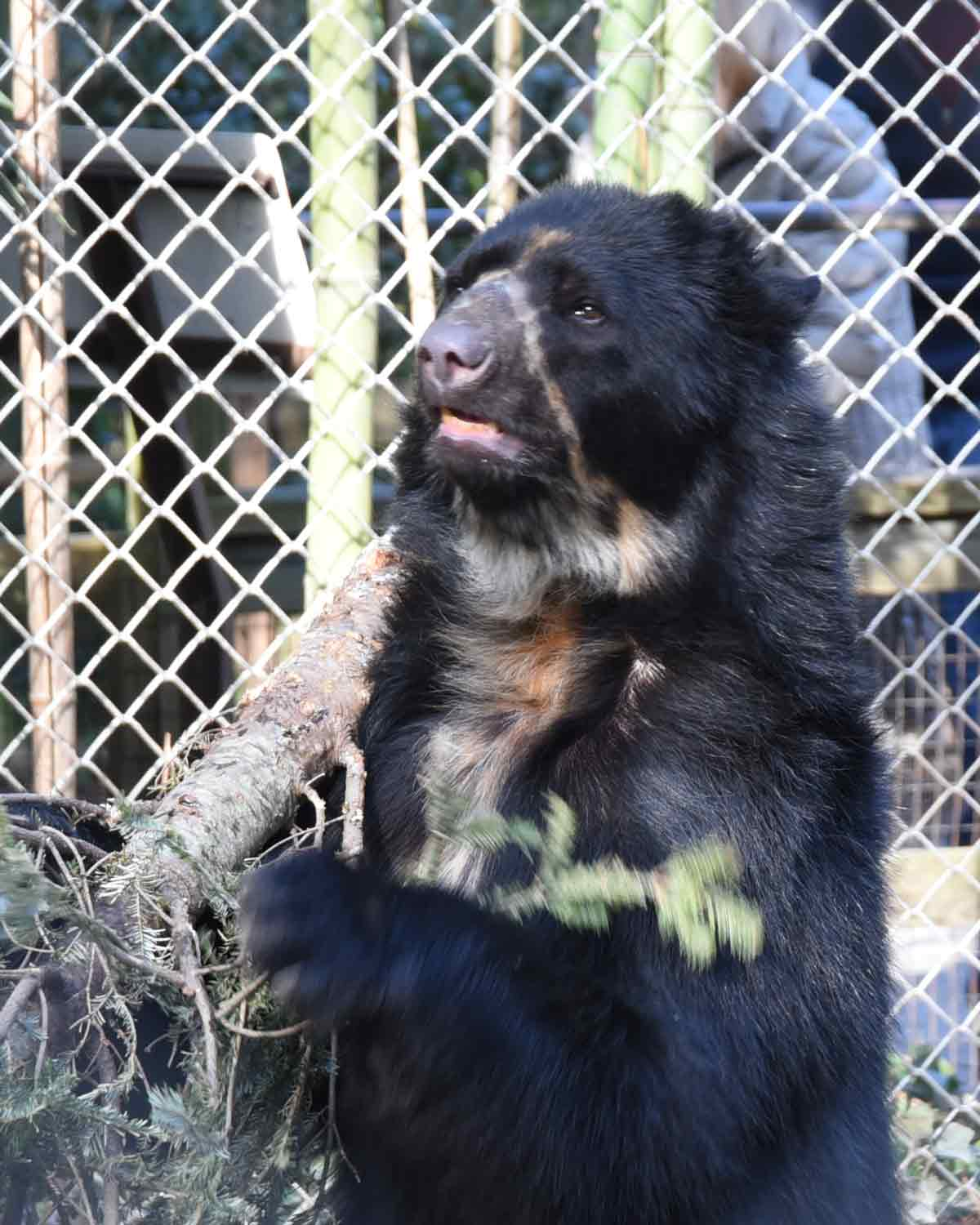 Pinnochio the Andean Bear | © Angela Drake
