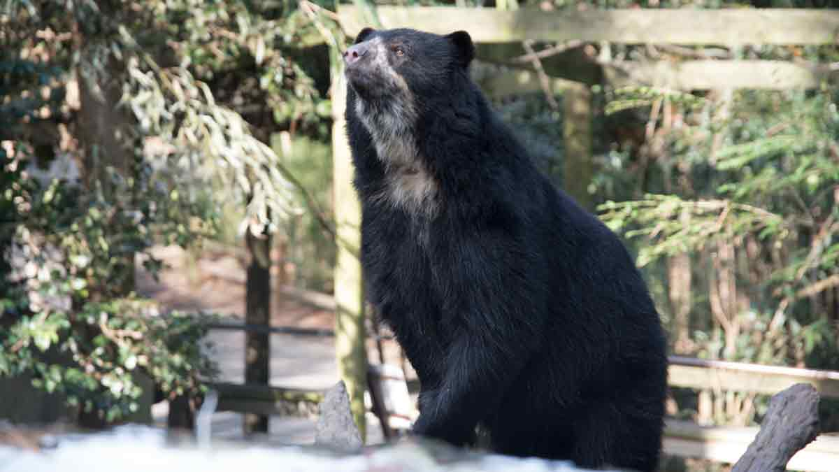 Chaski, an Andean Bear at the Salisbury Zoo, Maryland | © Angela Drake