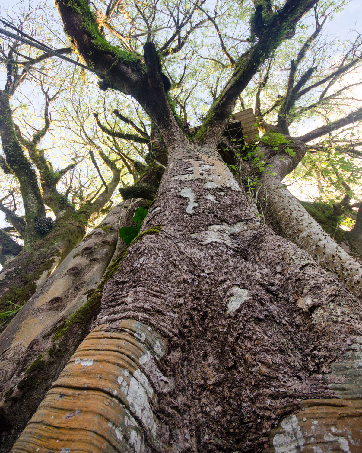 From the ground looking up at the oldest ceibo tree, San Cristobal, The Galapagos | ©Angela Drake