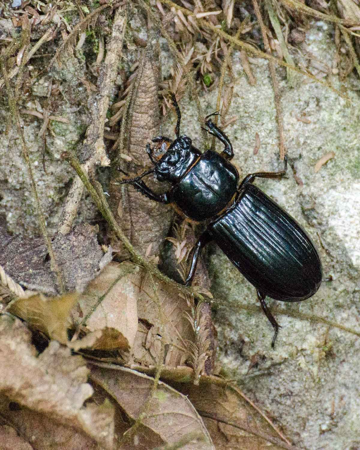 Unidentified beetle seen at the Ecolodge San Jorge de Tandayapa | ©Angela Drake