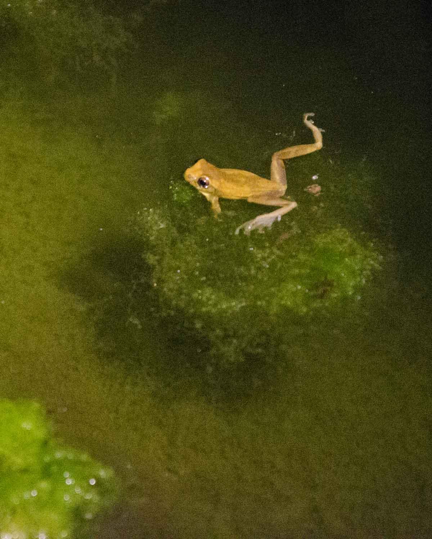 An unidentified frog seen at the Ecolodge San Jorge de Tandayapa | ©Angela Drake
