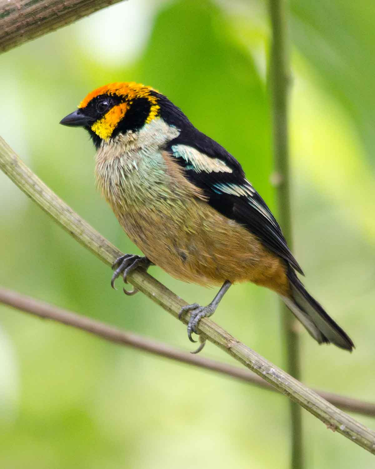 Flame-faced Tanager | ©Angela Drake