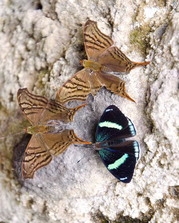 Mariposas no identificadas vistas en la carretera Nono-Mindo | © Angela Drake