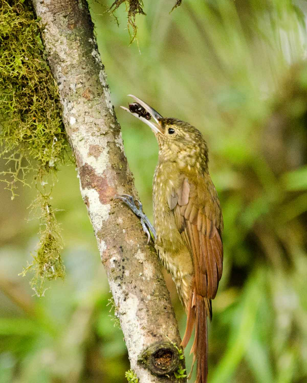 Un Trepatroncos Piquifuerte visto en el Ecolodge San Jorge de Milpe | © Angela Drake